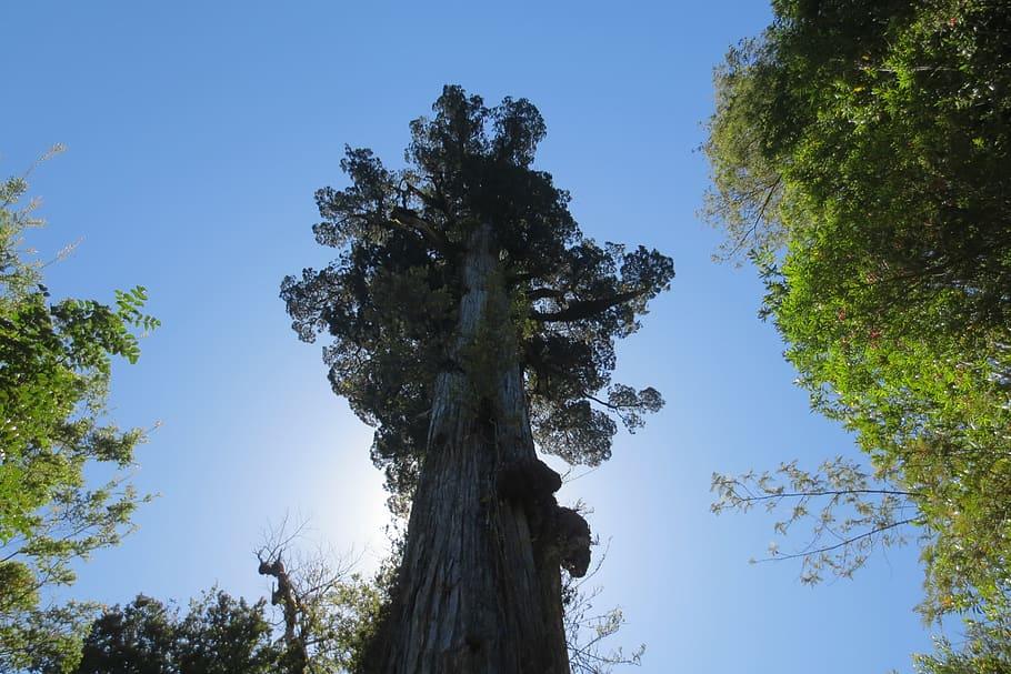 Alerce-Tree