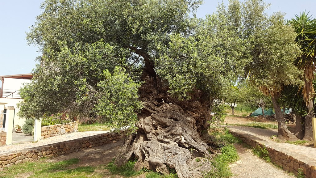 Elia-Bouybon-Olive-Tree-of-Vouves