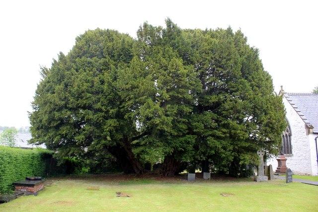 Llangernyw-Yew-Tree