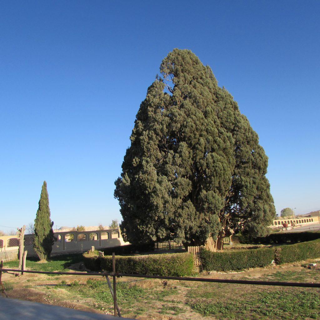 Sarv-e-Abarkooh Tree