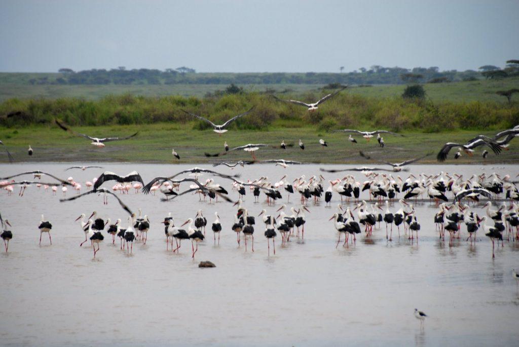 A Few Eurasian (European) Storks
