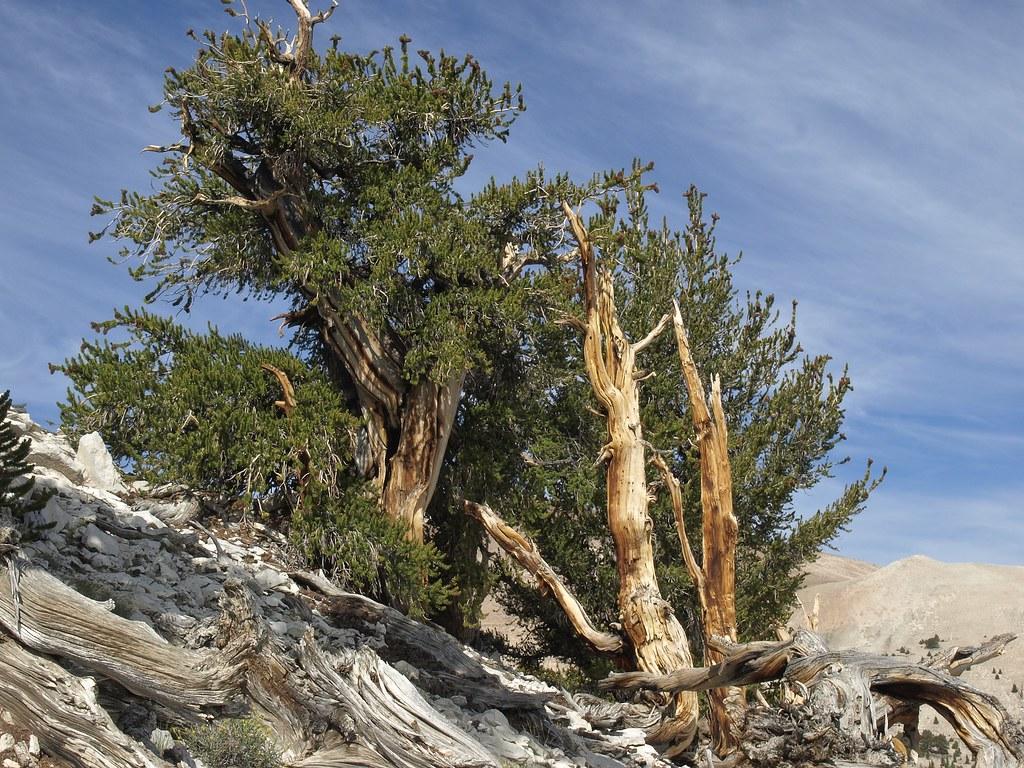 The-Patriarch-Tree