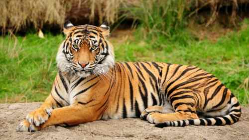 Bengal-Tigers-10-Incredible-indian-wildlife-facts-the-best-top-10-lists