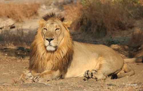 Indian-lion-asiatic-lion-10-Incredible-indian-wildlife-facts-the-best-top-10-lists