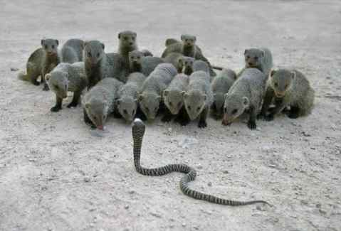 Mongoose-And-The-Cobras-10-Incredible-indian-wildlife-facts-the-best-top-10-lists