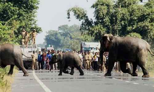 drunken-Elephants-in-India-strange-facts-about-wildlife-of-india