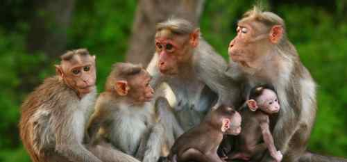 indian-monkeys-10-Incredible-indian-wildlife-facts-the-best-top-10-lists