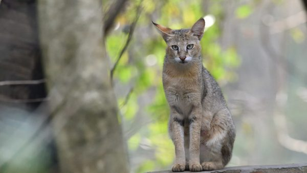 Jungle Lynx