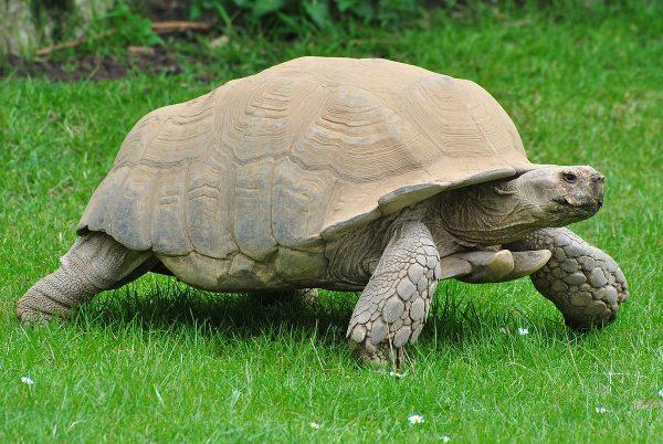 African-Spur-Tortoise
