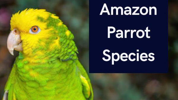 Amazon Parrot Species
