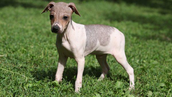 American Hairless Terriers