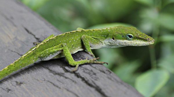 Anole-Lizard