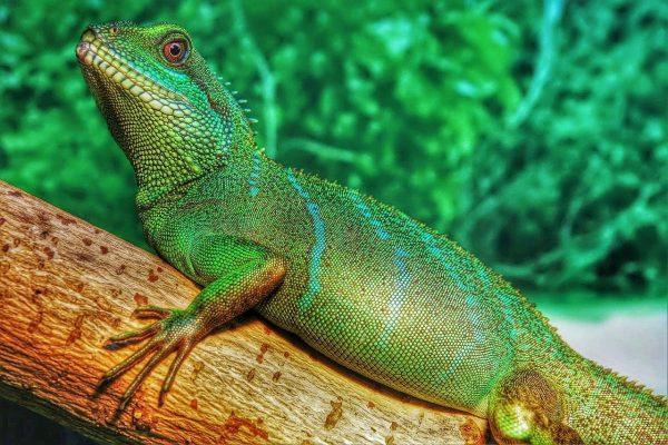 Lizards Species Asian-Water-Dragon