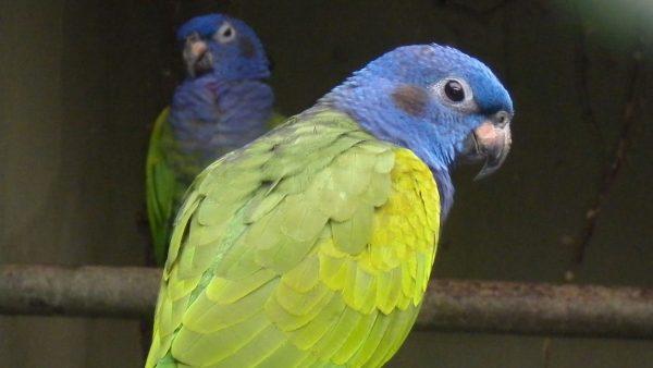 Blue-Headed-Pionus-Parrot