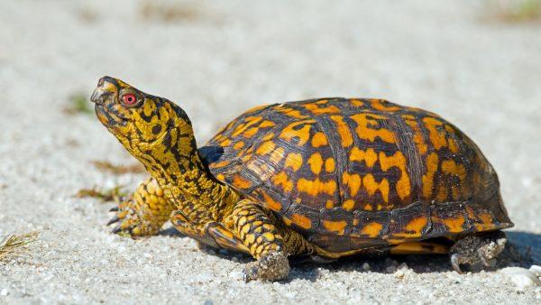 Turtles Species