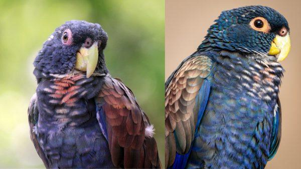 Bronze-Winged-Pionus-Parrot