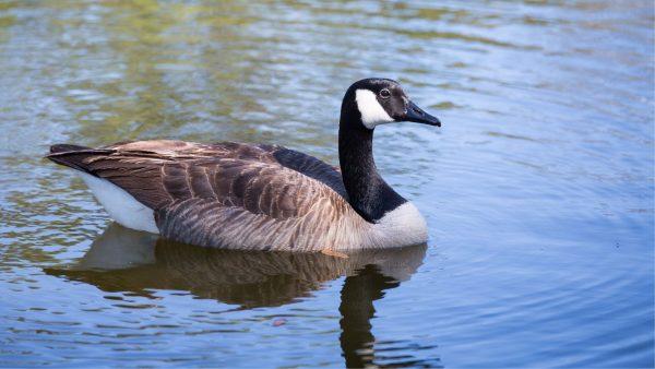 Game Birds Canada-Goose