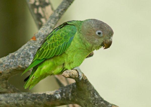 Cape Parrot