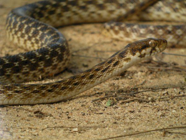 Cateyed Snake