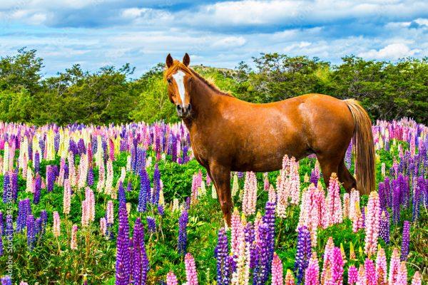 Chilean-horse
