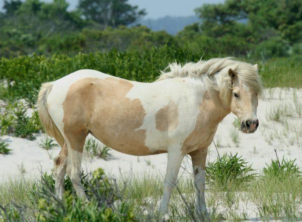 Chincoteague-Pony