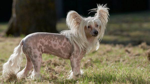 Chinese Crested Dog
