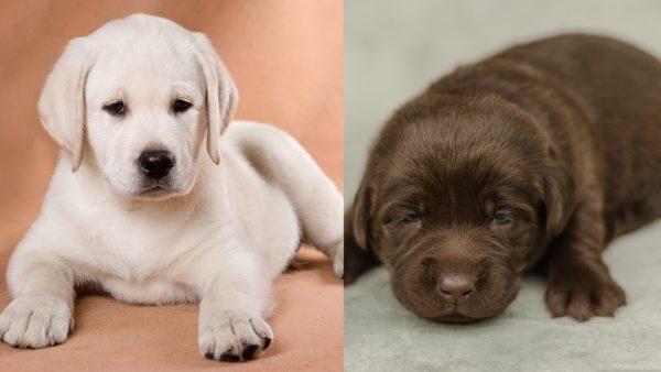 Choosing a Labrador Retriever Puppy