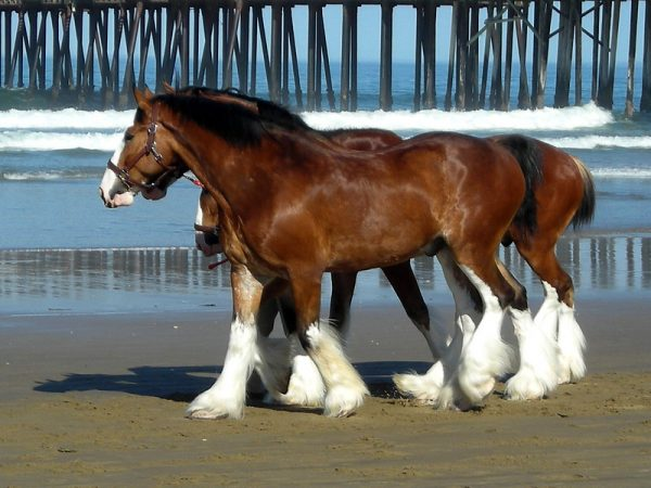 Clydesdale Draft Horses