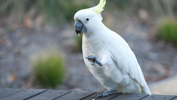 Cockatoo Birds