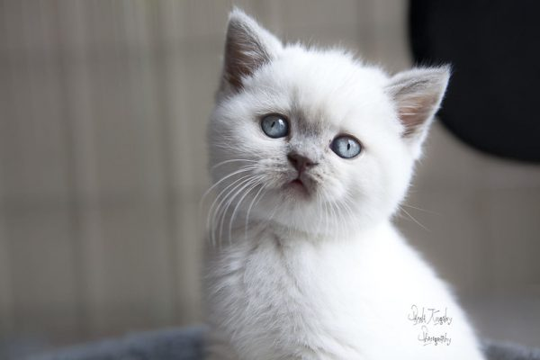 Colorpoint-British-Shorthair