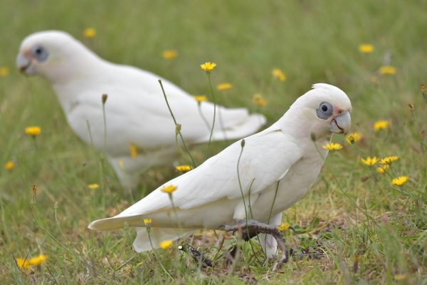 Corella-Cockatoo