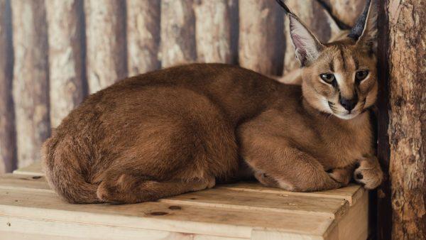 Desert-Lynx-Cat