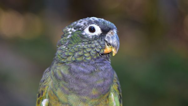 Dusky Pionus parrot
