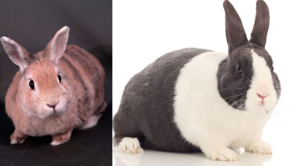 Rabbits Breeds Dutch-Rabbit