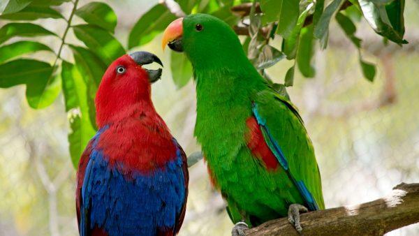 Eclectus-parrot