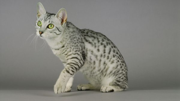 Short Haired Cats Egyptian-Mau