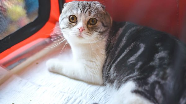 Exotic-Fold-or-Foldex-Cat