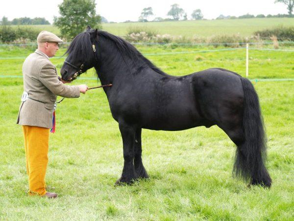 Fell-Pony