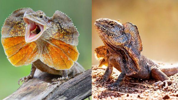 Frilled-Dragon-Lizard