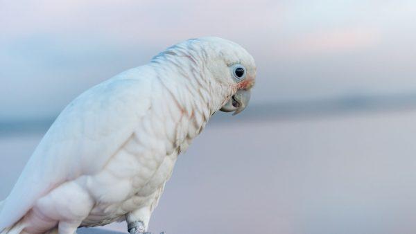 Goffin Cockatoos
