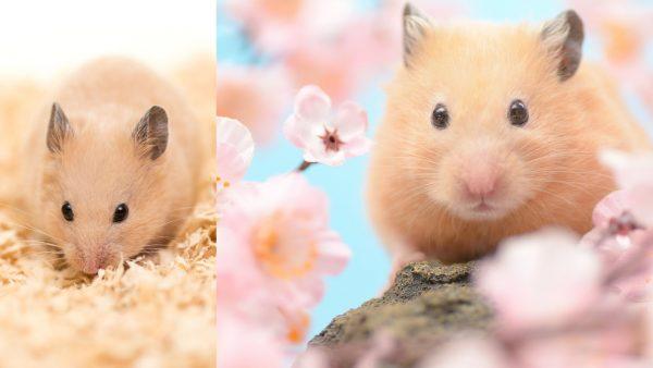Golden-Hamster