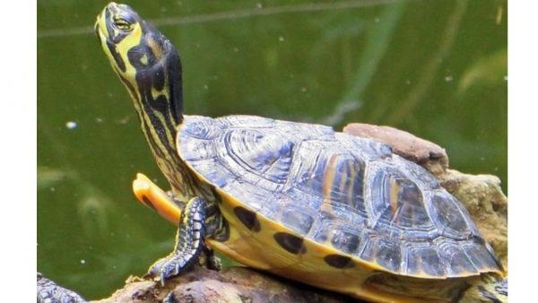 Green-Amazon-Terapin-turtle