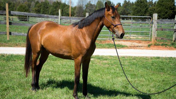 Hanoverian-horse