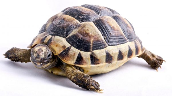 Herman-Tortoise