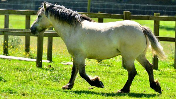 Highland-Pony