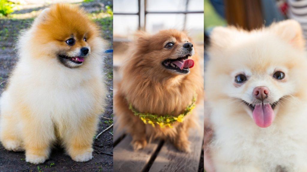 History Of Pomeranians