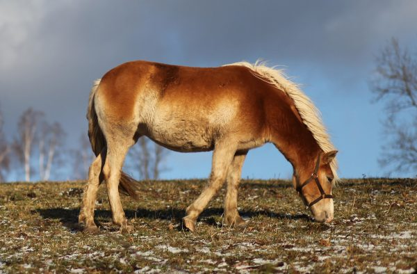 Hucul-Pony