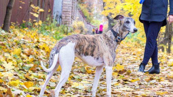 Hungarian Greyhound