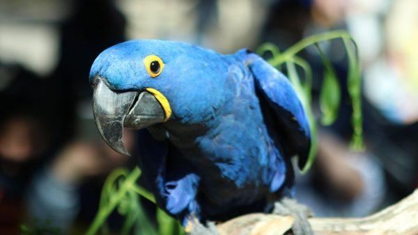 Hyacinth-Macaws
