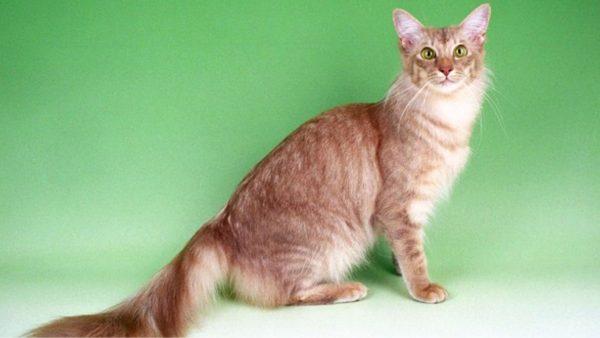Javanese-Cat
